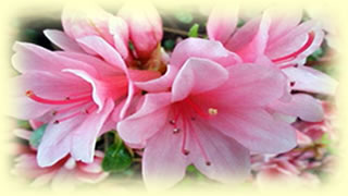 azaleas rhododendrons specialists